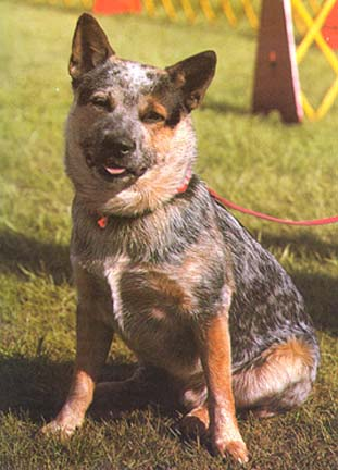 Australian Cattle Dog Colours Puppies And Undesirable Colors